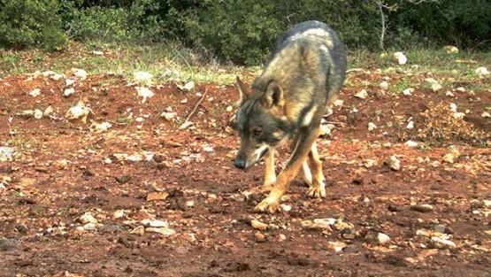Συνεχίζονται οι επιθέσεις λύκων σε κτηνοτροφικές εγκαταστάσεις στη Ροδόπη