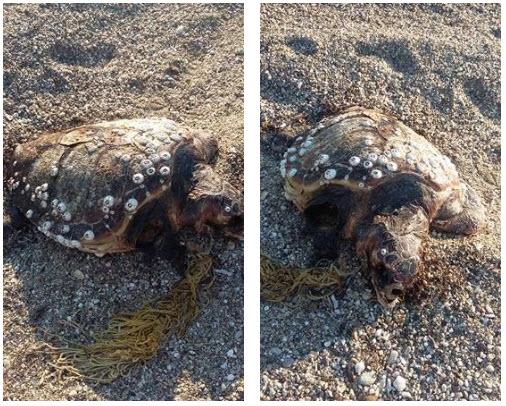 Ροδόπη: Θαλάσσια χελώνα παγιδεύτηκε σε δίχτυα