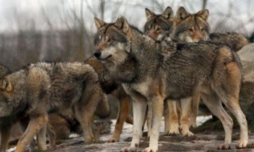Χορεύοντας με τους λύκους στην Ροδόπη