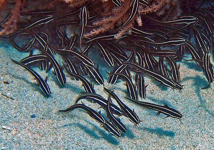 Νέο δηλητηριώδες ψάρι στο Αιγαίο