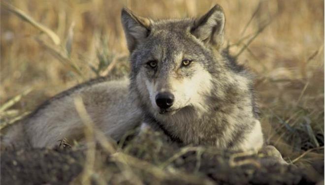 Λύκοι στην Πασχαλιά σκότωσαν τέσσερα σκυλιά