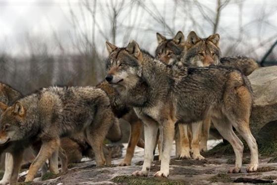 Εμφάνιση λύκων κοντά στην πόλη του Διδυμοτείχου