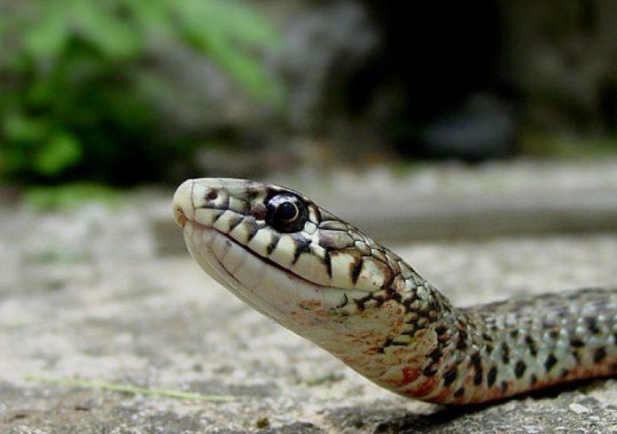 Περιβάλλον: Ο αγωγός ΤΑΡ ανοίγει λάκκους για φίδια στον Έβρο!