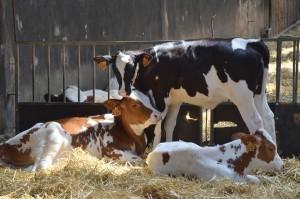 Ενισχύσεις και στον Έβρο για βοοειδή και πρόβατα