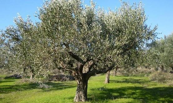Π.Ε. Έβρου: Επιβλαβές φυτοπαθογόνο βακτήριο απειλεί ελιές και αμπέλια
