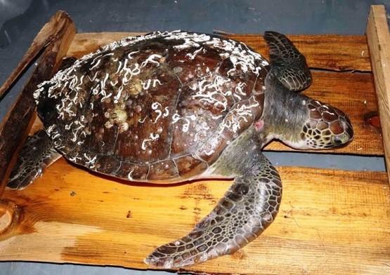 Σπάνια θαλάσσια χελώνα διασώθηκε στη Ν. Πέραμο !