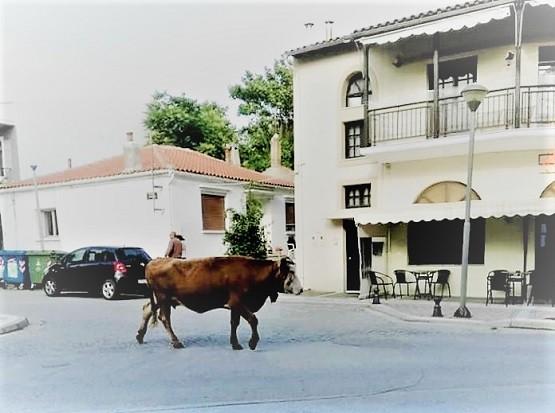 Μια αγελάδα έκανε άνω κάτω τις Φέρες – Έκανε τη βόλτα της στην αγορά!