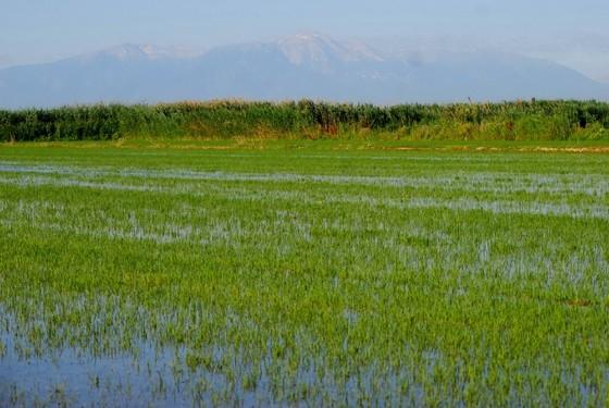 Οι ορυζοκαλλιέργειες απλώνονται στον Έβρο