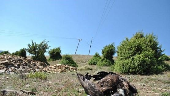 Νεκρός Μαυρόγυπας από ηλεκτροπληξία στο Δήμο Αρριανών
