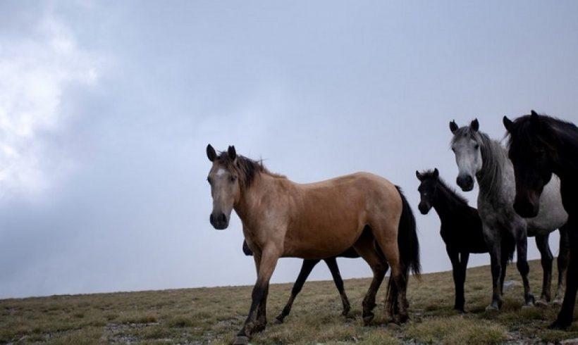 Σκότωσαν πέντε άγρια άλογα στο Δέλτα του Έβρου!