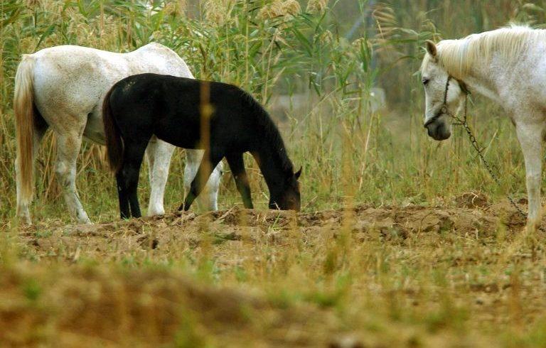 Ψήφισμα για τη θανάτωση των αλόγων στο Δέλτα του Έβρου – τι δείχνουν τα στοιχεία