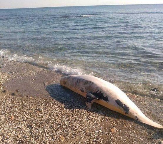 Νεκρό σταχτοδέλφινο ξεβράστηκε στη Μαρώνεια – Το πρωί του Σαββάτου