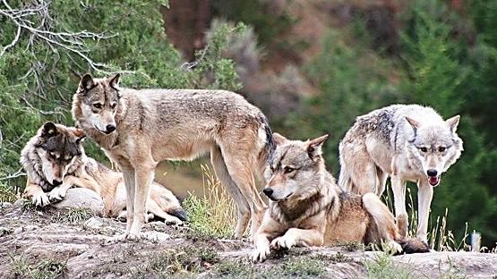 Τουλάχιστον 20 περιστατικά επιθέσεων λύκων σε κυνηγετικά σκυλιά στην Κομοτηνή