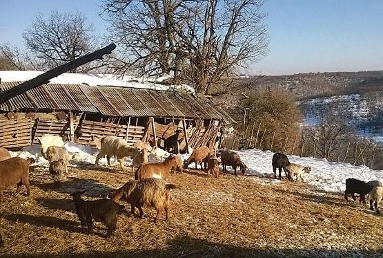 Από «σκράπι» προσεβλήθη κοπάδι αιγοπροβάτων στο νομό Ροδόπης