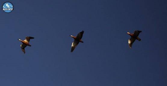 Νέο ρεκόρ για την Ελλάδα οι Καστανόπαπιες στο Δέλτα Έβρου