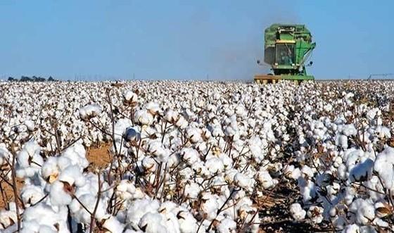 Tι θα γίνει με τις αποζημιώσεις των βαμβακοπαραγωγών στη Θράκη; – Ο Υπουργός απάντησε
