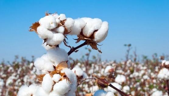 cotton-696×397
