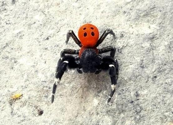 Η Σαμοθράκη ίσως αποτελεί καταφύγιο γι' αυτήν την πολύ σπάνια αράχνη!