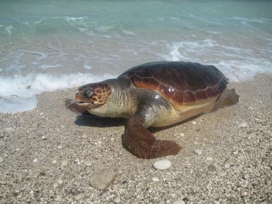 Νεκρές θαλάσσιες χελώνες στις παραλίες της Ξάνθης- Έρευνα της «Θ»