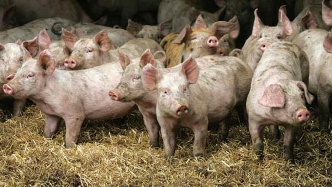 Προσλαμβάνονται 46 κτηνίατροι για την Πανώλη των Χοίρων