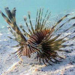 Ετοιμάζεται κατάλογος με τα ξενικά ψάρια που έχουν «εισβάλει» στο Βόρειο Αιγαίο