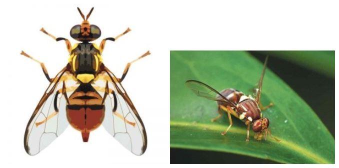 Προσοχή στην Ασιατική μύγα