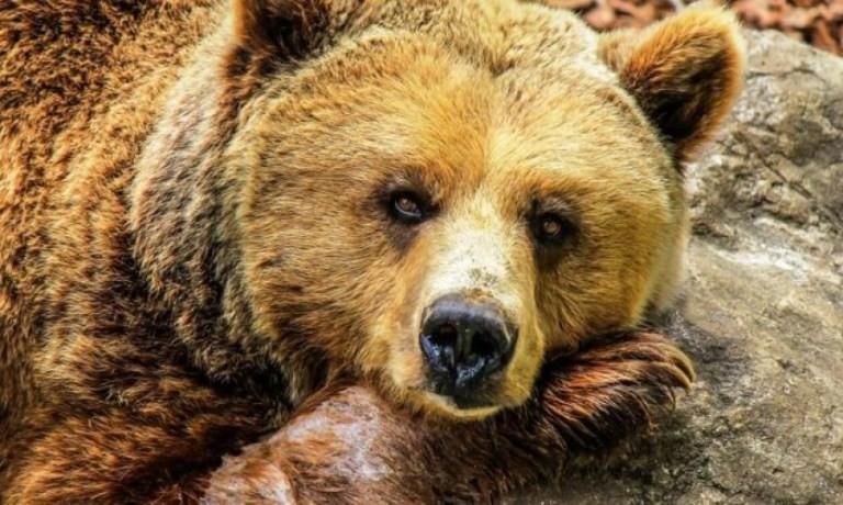 Μετωπική σύγκρουση με αρκούδα στην Καστοριά
