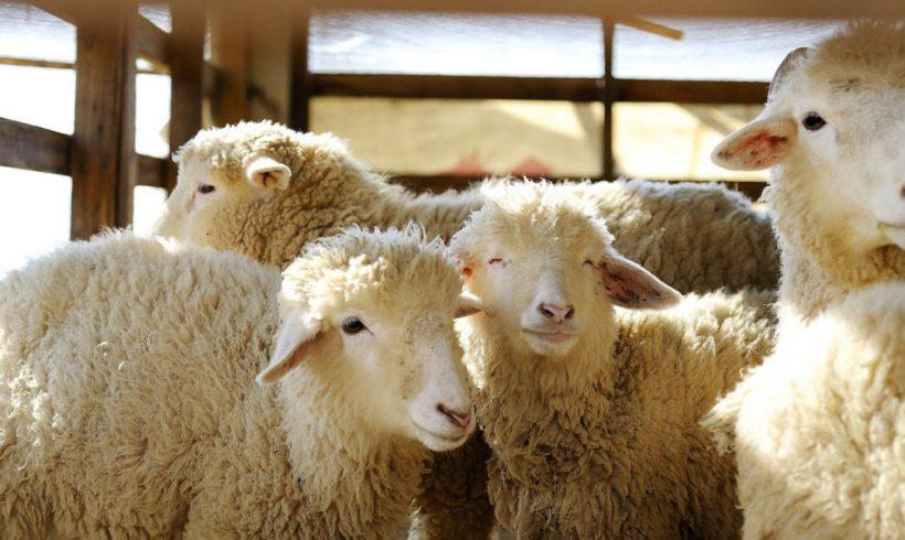 Κτηνοτρόφοι: Δεν ξέρουμε που θα δώσουμε φέτος αρνιά μας