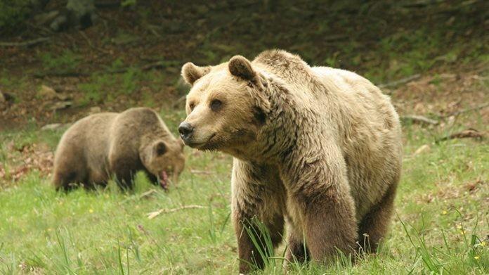 Ο Δασάρχης της Ξάνθης στην Thraki.com.gr για την εμφάνιση της αρκούδας