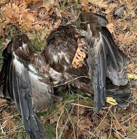Αγωνία για τα σπάνια πτηνά στη χώρα μας με αφορμή τους 2 δηλητηριασμένους Μαυρόγυπες στη Δαδιά