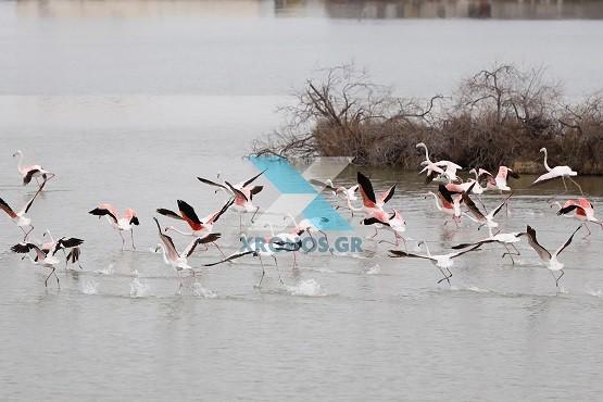 Μαγεύει ο «χορός» των φλαμίνγκο στη λίμνη Βιστωνίδα