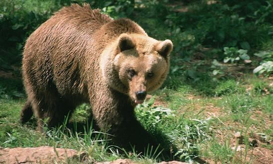 Αρκούδες σε αυλή σπιτιού στην Καστοριά